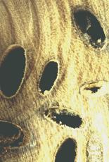 Longicorn Beetle Damage