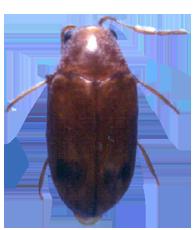 Queensland Pine Beetle - Calymmaderus incisus