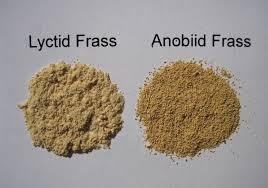 Powder Post Beetle Frass & Larva