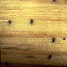 Ambrosia Beetle Damege