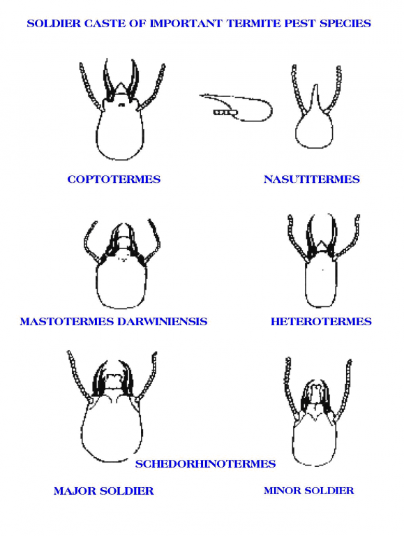 Termite Species Identification Soldier Casts