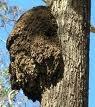 Termite Tree Nest 2 Picture